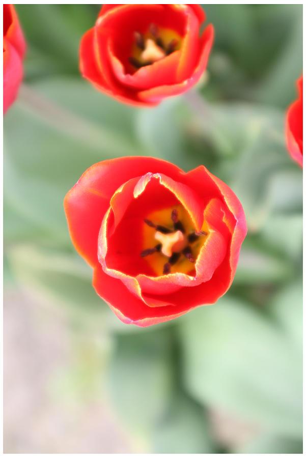 Flowers Photograph - Tulips by Elena De Lison