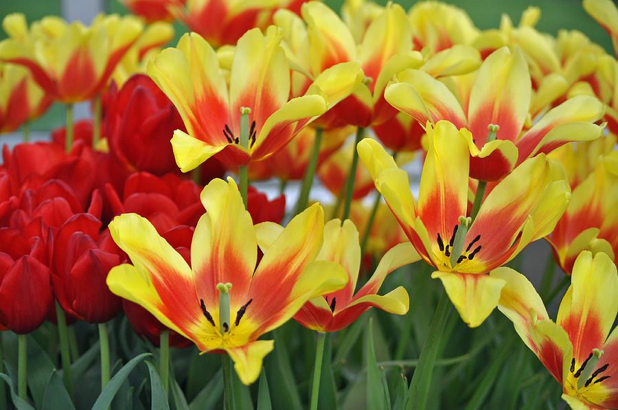 Tulips Photograph - Tulips Glorious Tulip Monsella by Debra  Miller