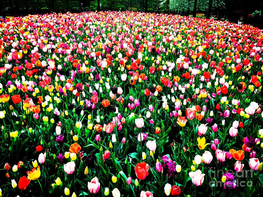 Tulips Photograph by HELGE Art Gallery