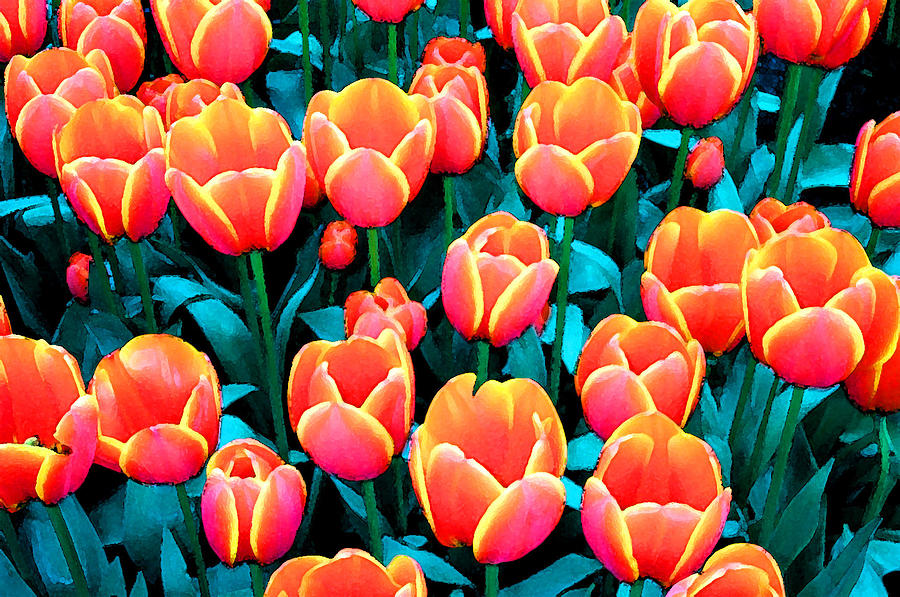 Tulips In Holland Photograph by Gene Sizemore