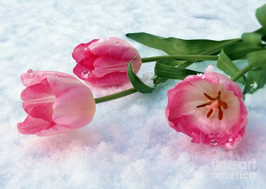 Tulips Pyrography - Tulips In Snow by Morag Bates