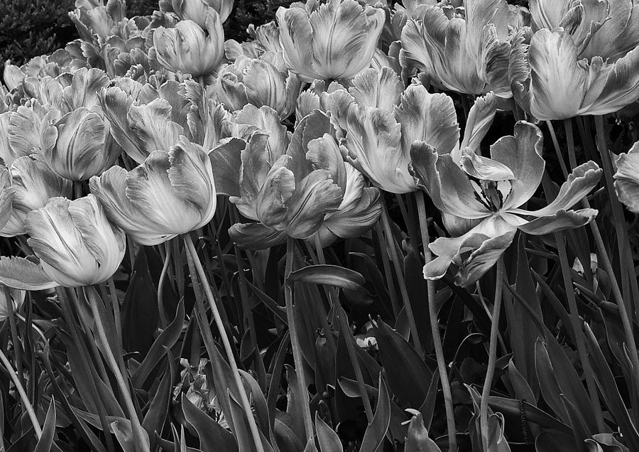 Tulips Photograph - Tulips In The Breeze by Abhi Ganju
