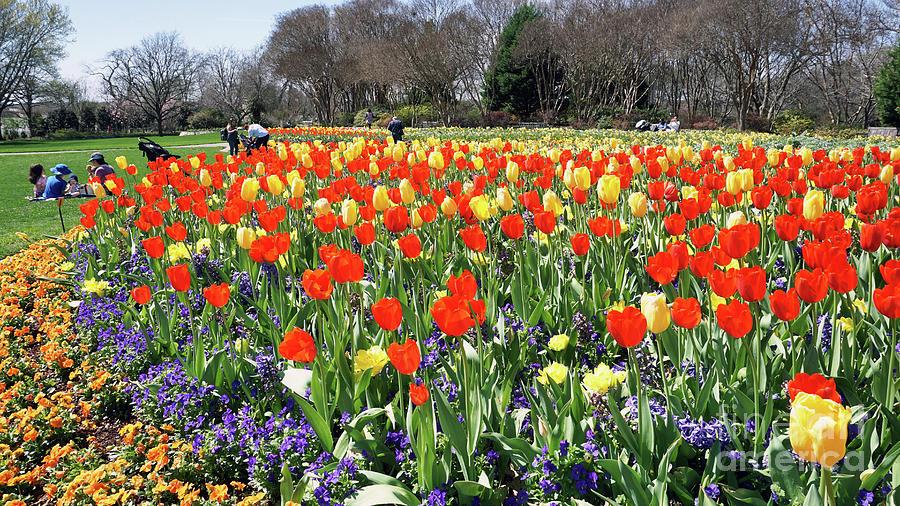 Dallas Photograph - Tulips In The Park. by W Scott McGill
