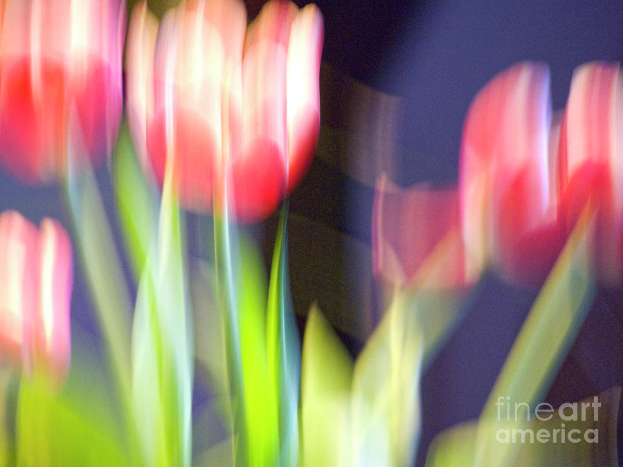 Tulips In The Wind Photograph
