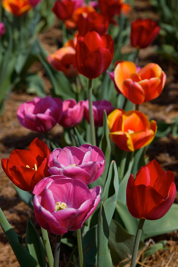 Tulips by Lawrence Boothby