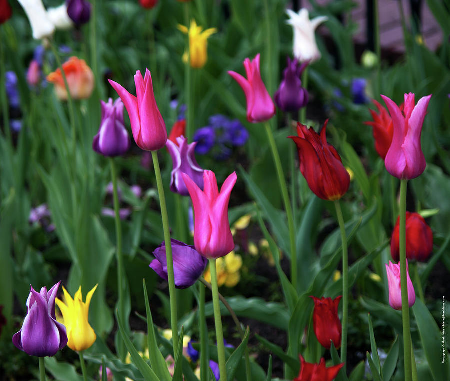 Tulips Photograph - Tulips by Mark Ivins