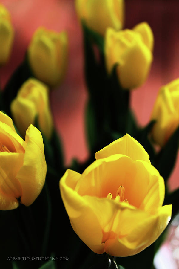Tulips Photograph - Tulips by Matt Truiano