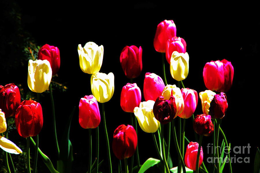 Tulips Photograph - Tulips, Multicolored, 3 by David Frederick