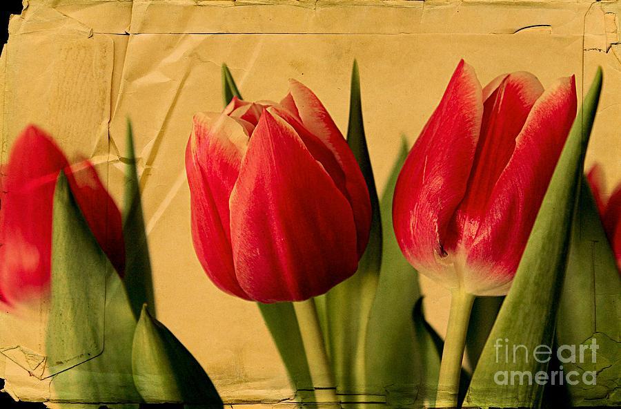 Tulips On Parchment Photograph
