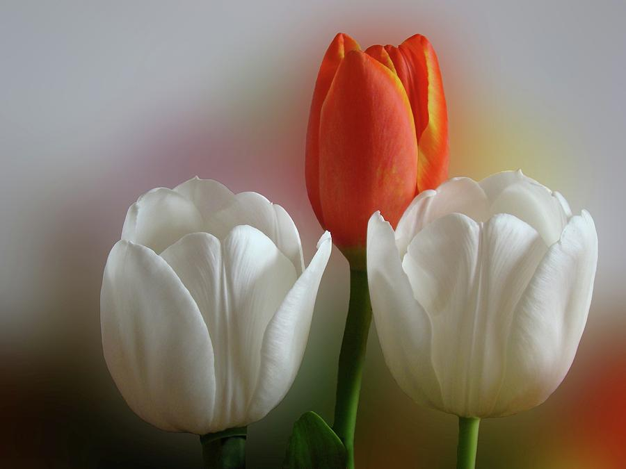 Spring Flowers Photograph - Tulips by Sandy Keeton