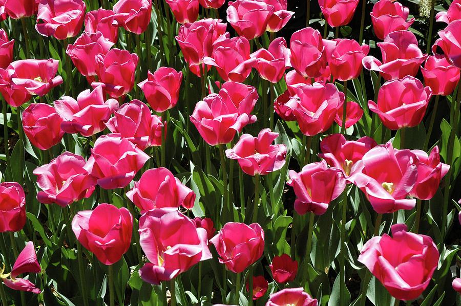 Tulips Photograph by Steven Riker