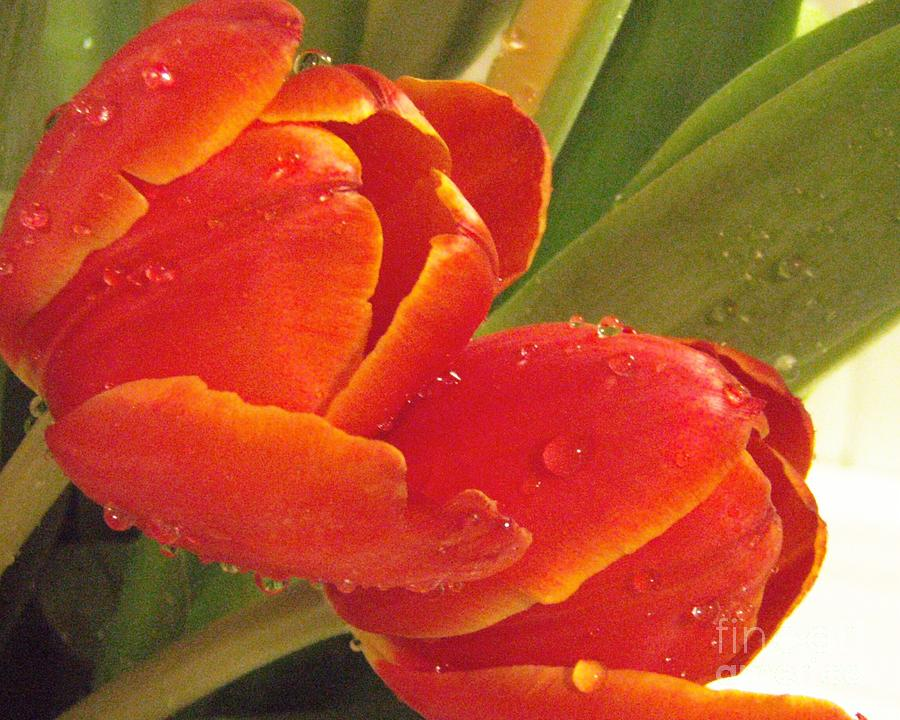 Tulips Photograph - Tulips Wet by Kristine Nora