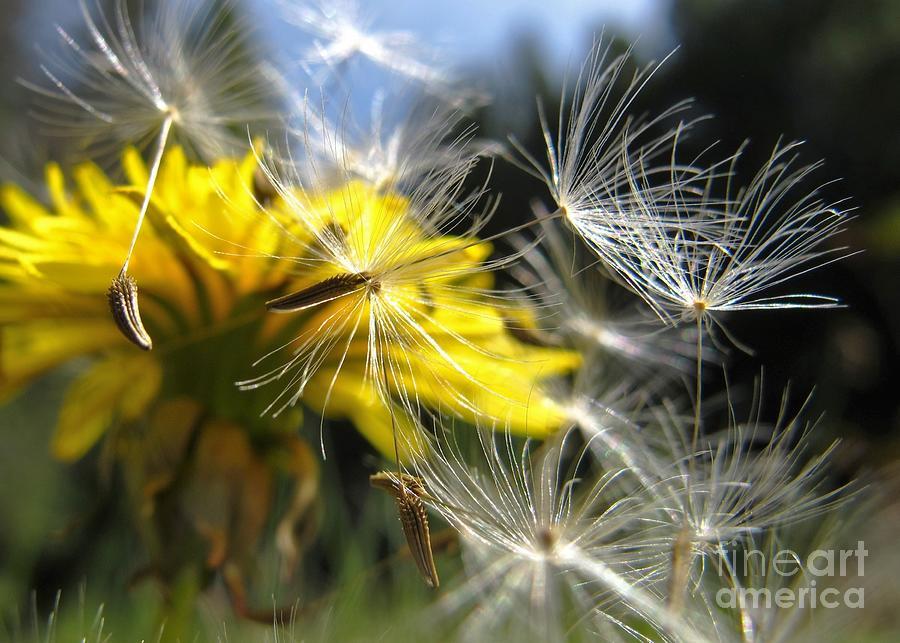 Dandelions Photograph - Tumbling by Wendy Rickwalt