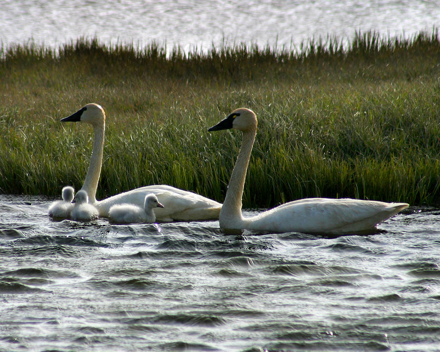 Swans Photograph - Tundra Swans And Cygents by Anthony Jones