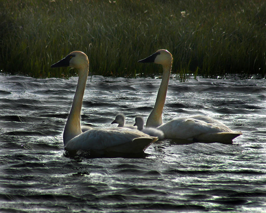 Tundra Swan Photograph - Tundra Swans by Anthony Jones