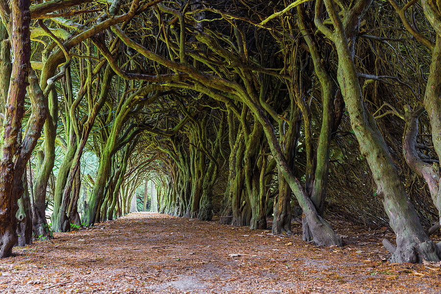 Tunnel of intertwined Yew trees by Semmick Photo