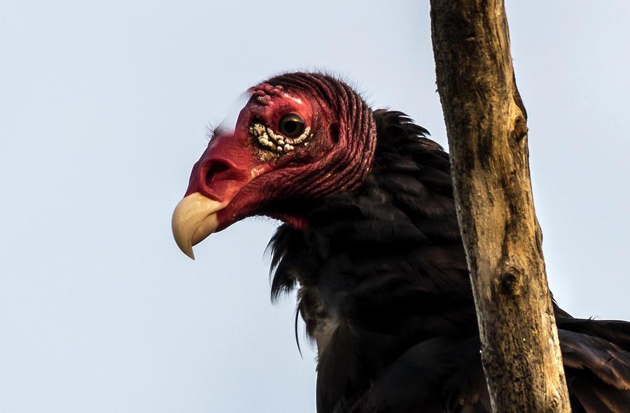 Turkey Vulture Photograph - Turkey Vulture by Bob Marquis