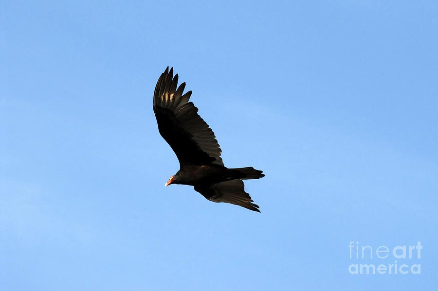 Turkey Vulture Photograph - Turkey Vulture by David Lee Thompson