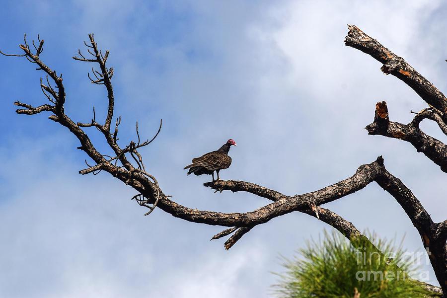 Turkey Vulture Photograph - Turkey Vulture On Dead Tree by William Tasker