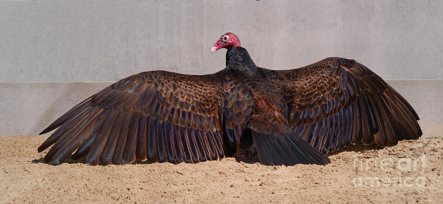 Turkey Vulture Spreading Wings by Em Witherspoon