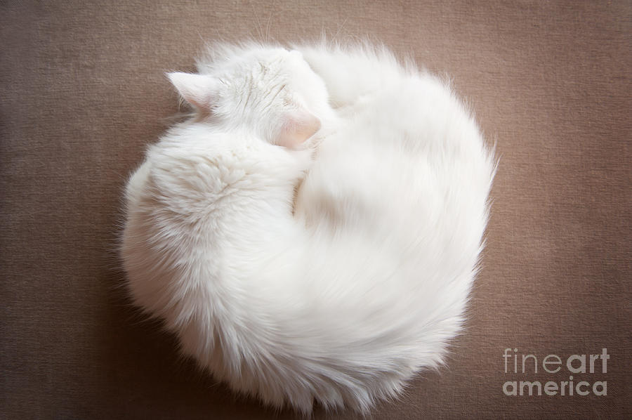 Turkish Angora cat curled up by Arletta Cwalina