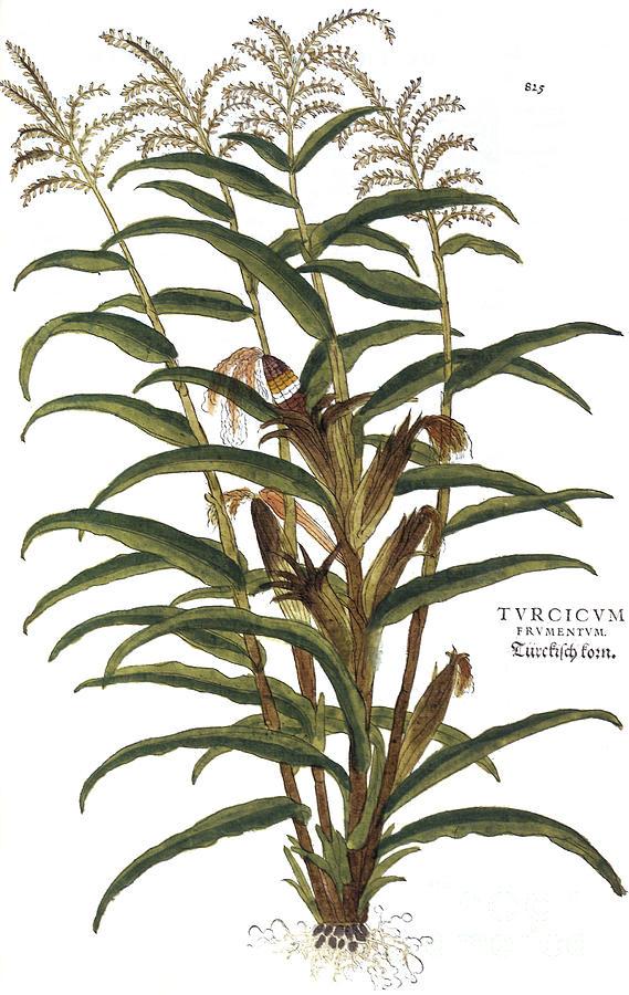 1730s Photograph - Turkish Corn, 1735 by Granger