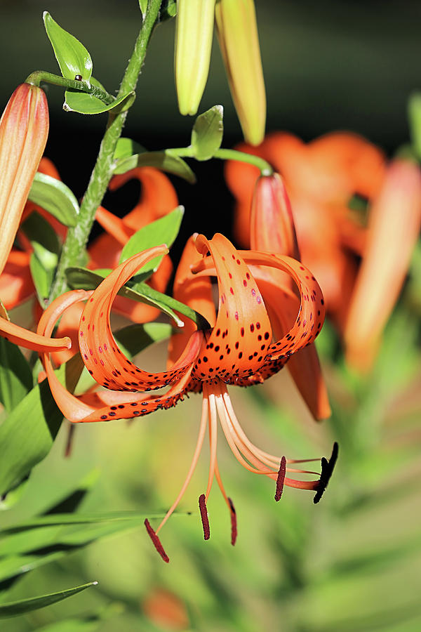 Turks Cap Lily Photograph