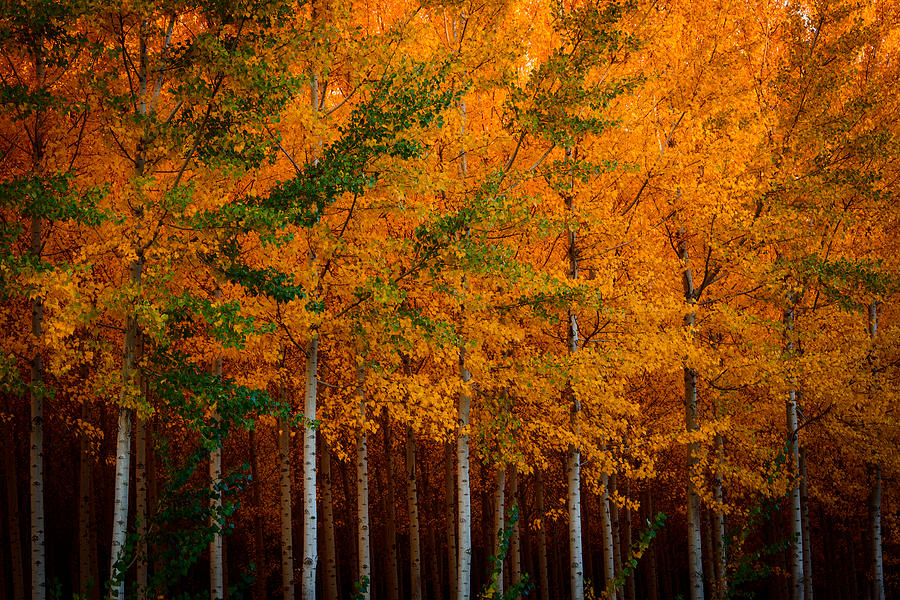 Fall Photograph - Turning Into Gold by Dan Mihai