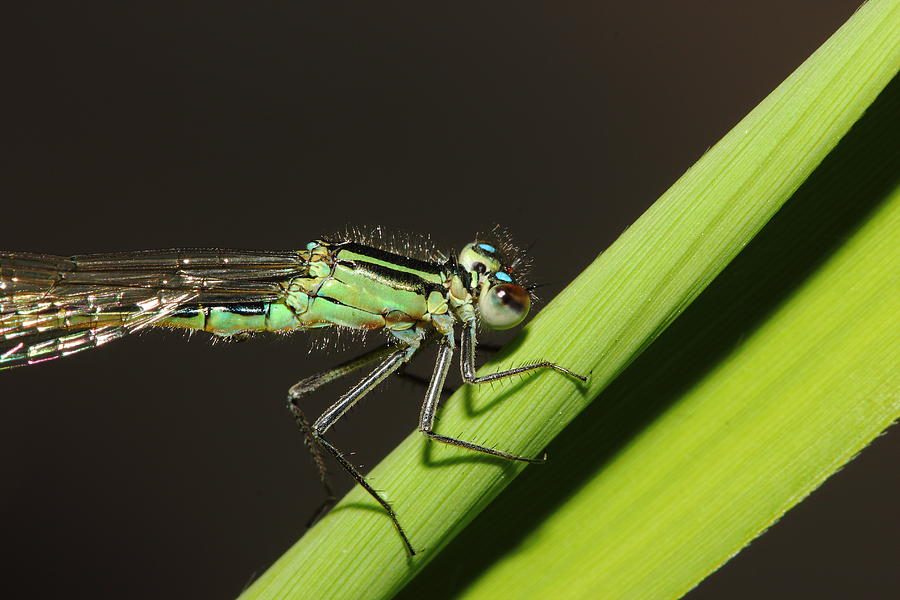 Nature Photograph - Turquois Damselfly by Andre Bijkerk