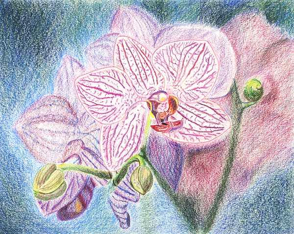 Orchid Drawing - Turquoise Orchid-drawing by Deborah  DeAmroim