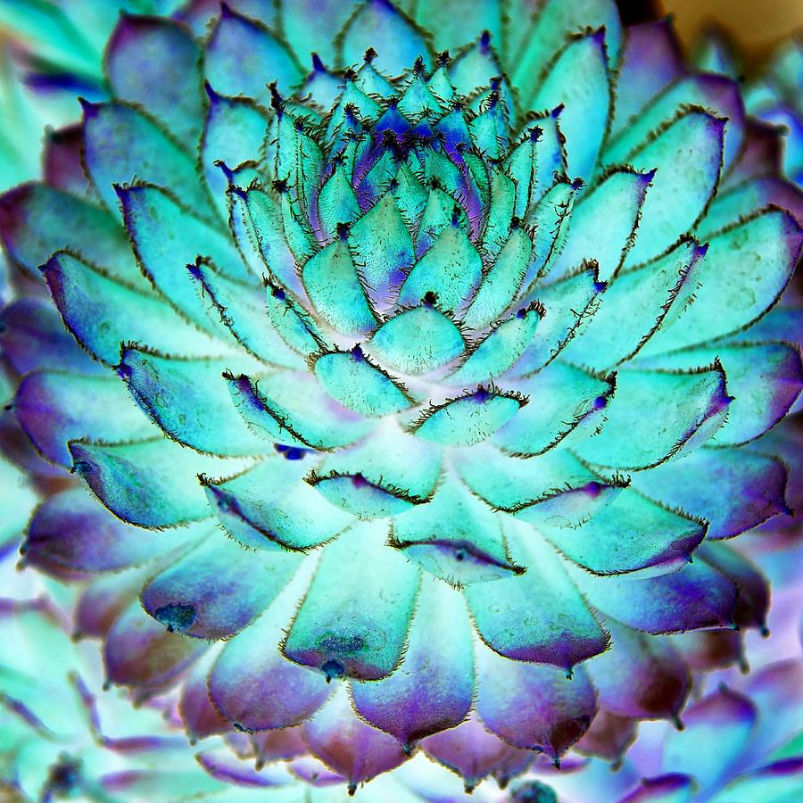 Turquoise Photograph - Turquoise Succulent 1 by Marianne Dow