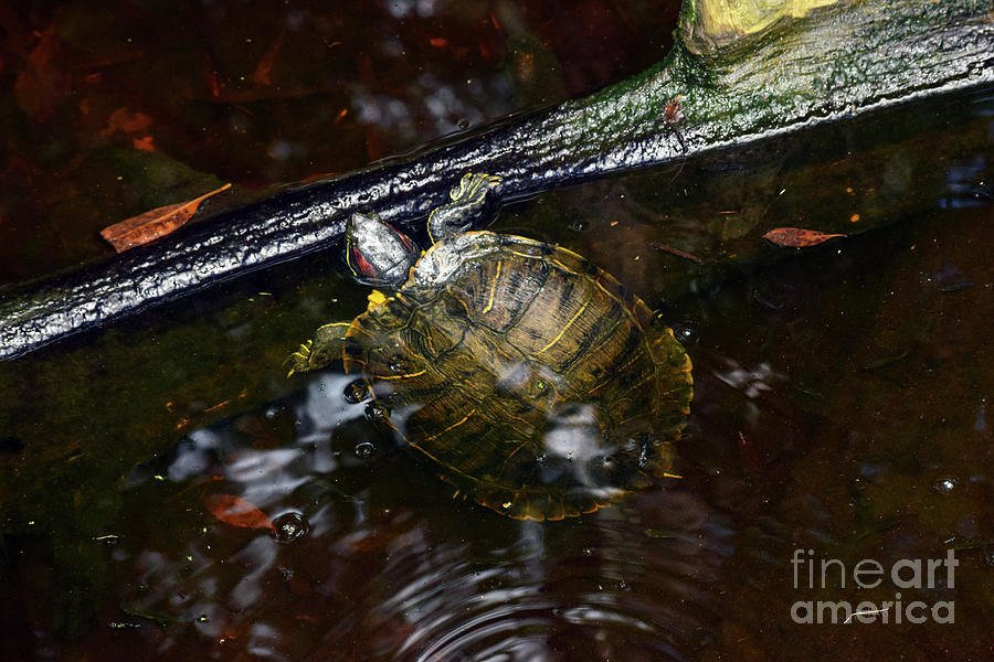 Turtle Photograph - Turtle And The Stick by William Tasker