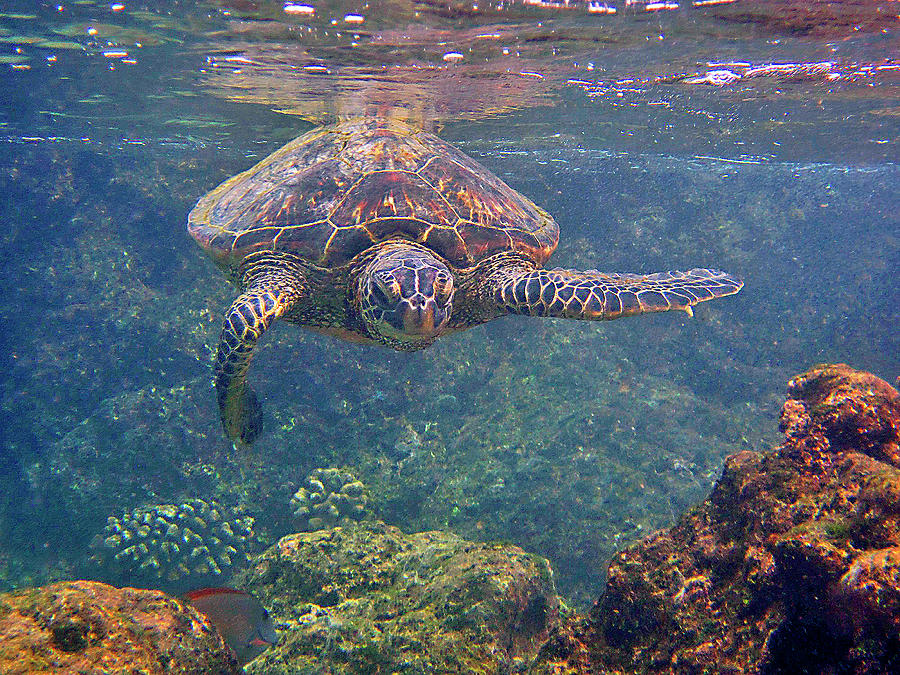 Turtle Approaching by Bette Phelan