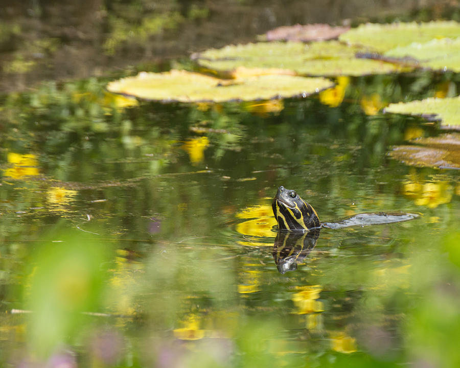Turtle Photograph - Turtle  by Julie Andel