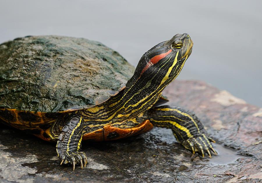 Turtle Photograph - Turtle Portrait by Denise McKay