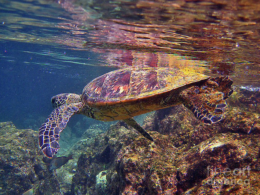 Hawaiian Sea Turtle Photograph - Turtle Reflections by Bette Phelan