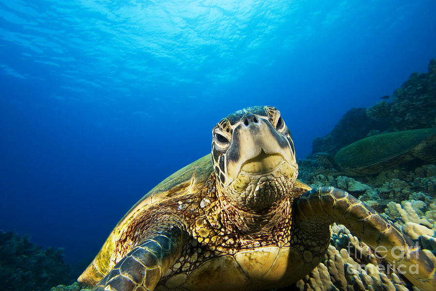Blue Photograph - Turtle Stare by Dave Fleetham - Printscapes
