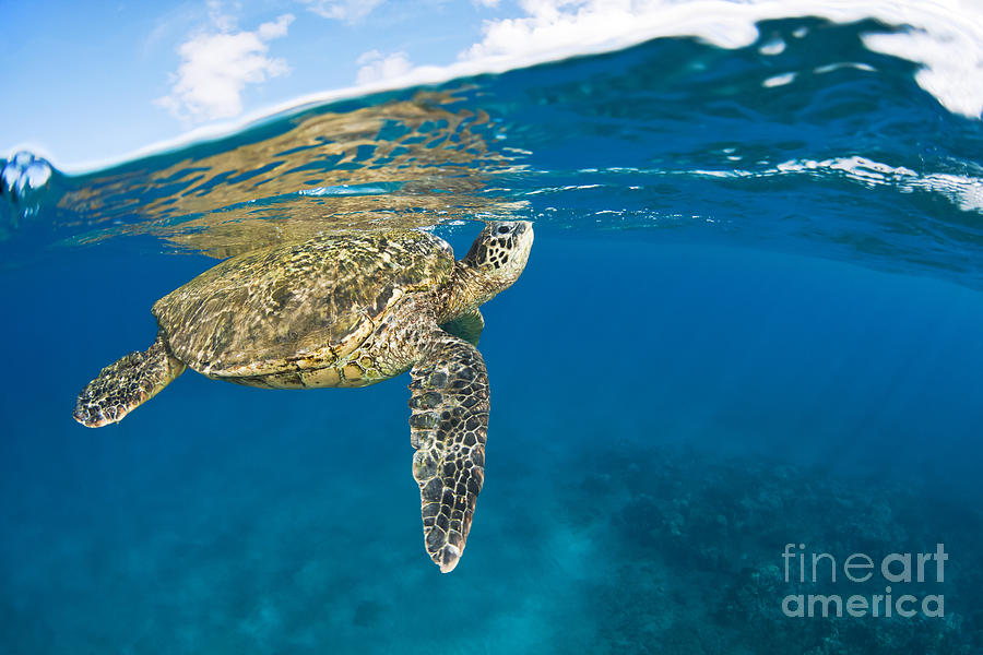 Air Photograph - Turtle Taking A Breath by Dave Fleetham - Printscapes