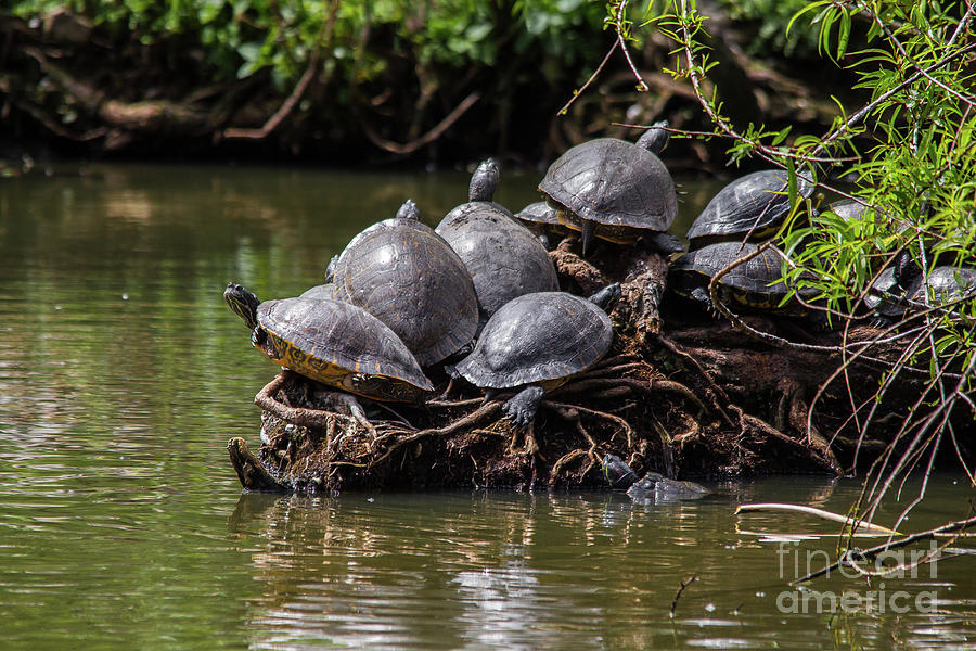 Nature Photograph - Turtle Traffic by James Foshee