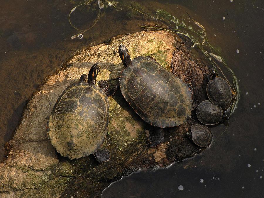 Turtles Photograph - Turtles  by Matthew Robbins
