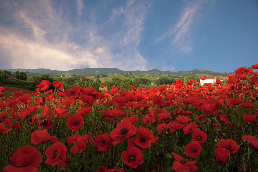 Tuscan Poppy Field by Susan Rovira