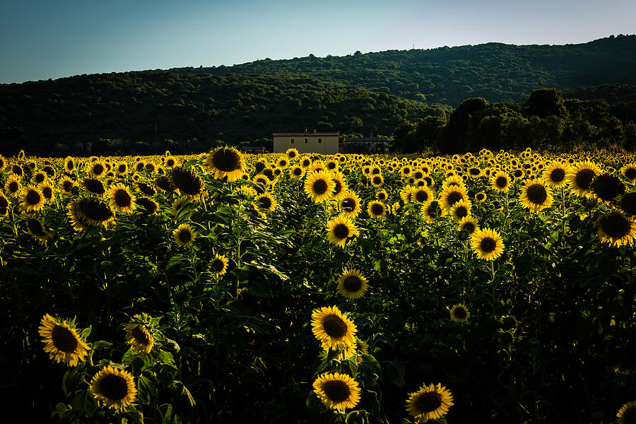 Landscape Photograph - Tuscany - Sunflowers At Sunset by Cesare Bargiggia
