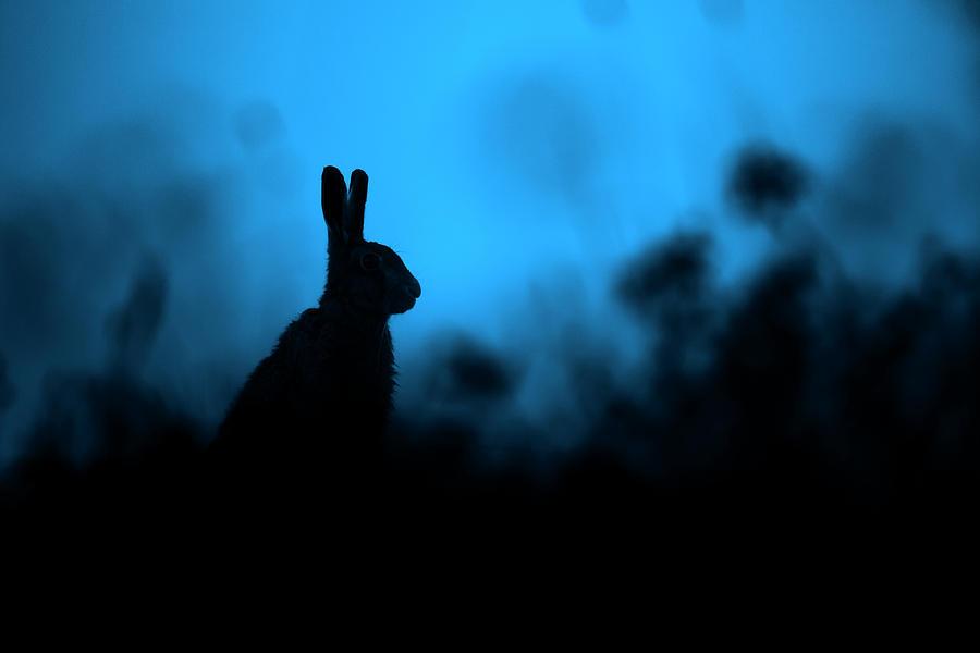 Twilight Hare by Simon Litten