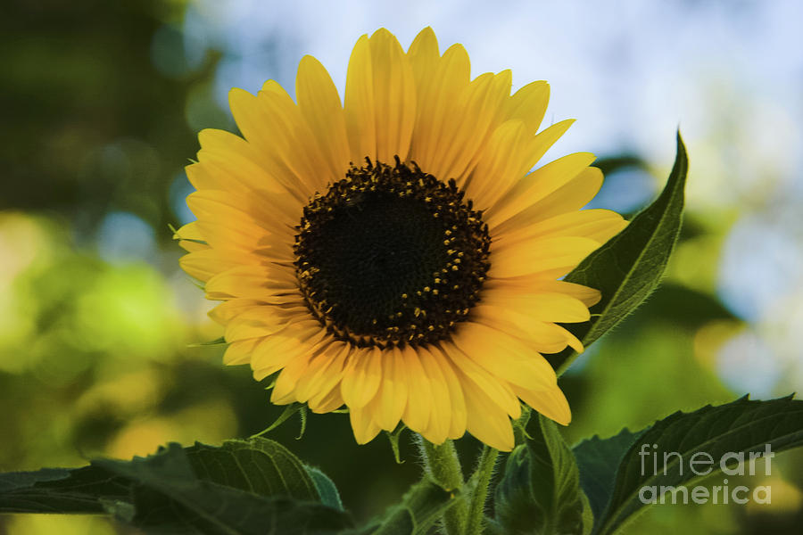 Twilight Sunflower by Angela J Wright
