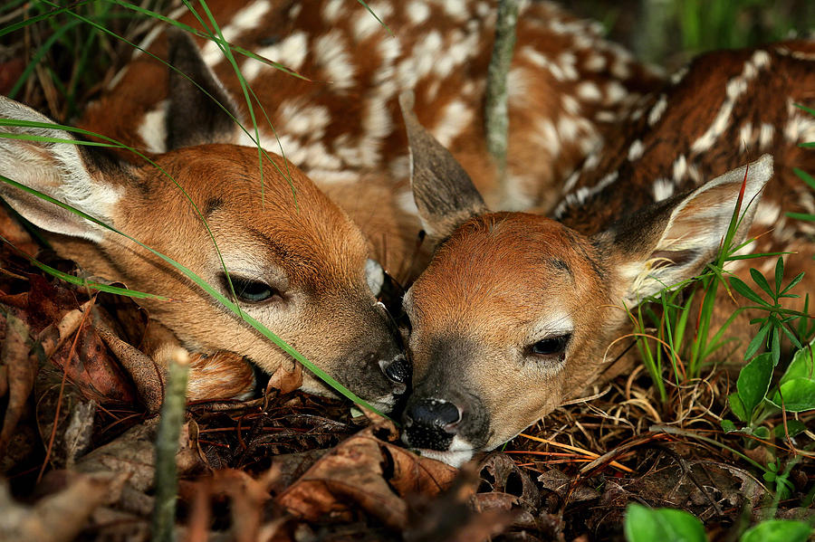 Twin Newborn Fawns Photograph By Michael Dougherty