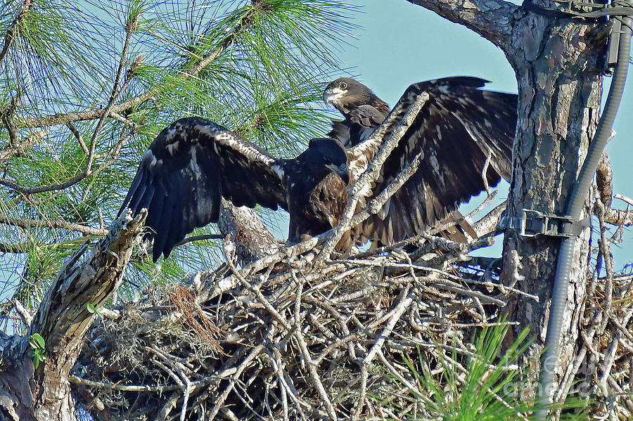 Eagles Photograph - Twins Getting Ready  by Liz Grindstaff