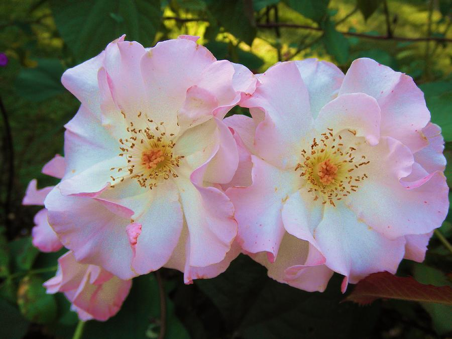 Flowers Photograph - Twins by Jeanette Oberholtzer