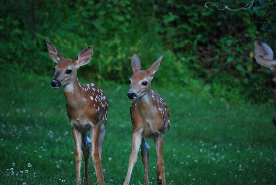 Deer Photograph - Twins by Lori Tambakis