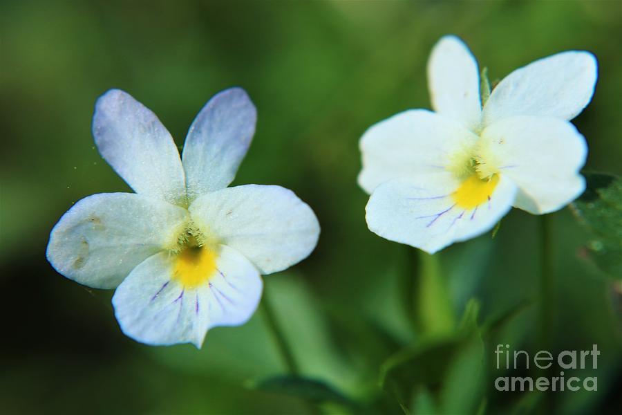 Twins - Wild White Violets Photograph