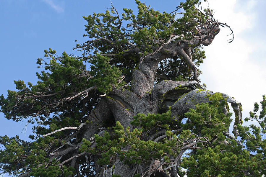 Bristlecone Pine Trees Photograph - Twisted And Gnarled Bristlecone Pine Tree Trunk Above Crater Lake - Oregon by Christine Till
